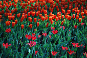 Tulips Job's Memory (Greigii group) and Love Songs (Kaufmanniana) grown in the park. Spring time in Netherlands.