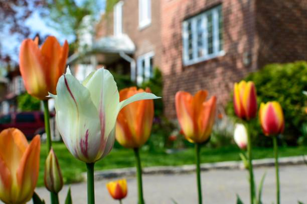 Tulips lining driveway of brick house exterior in spring stock photo