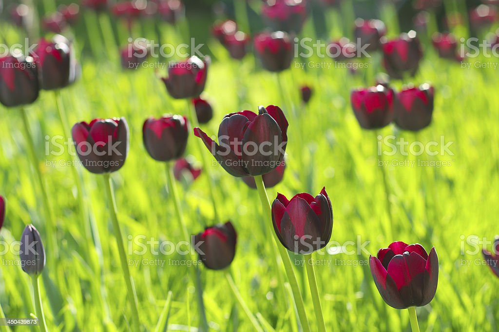 Tulips named 'queen of night', rare variety royalty-free stock photo