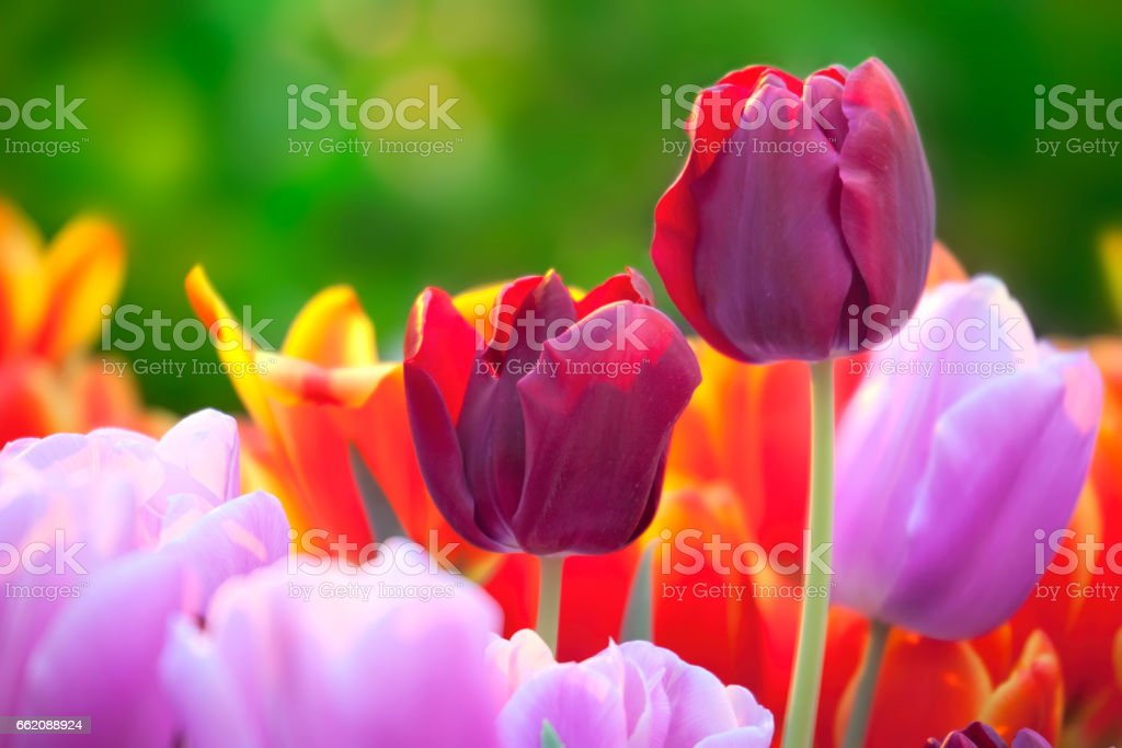Tulips of multi-colored flowers in spring royalty-free stock photo