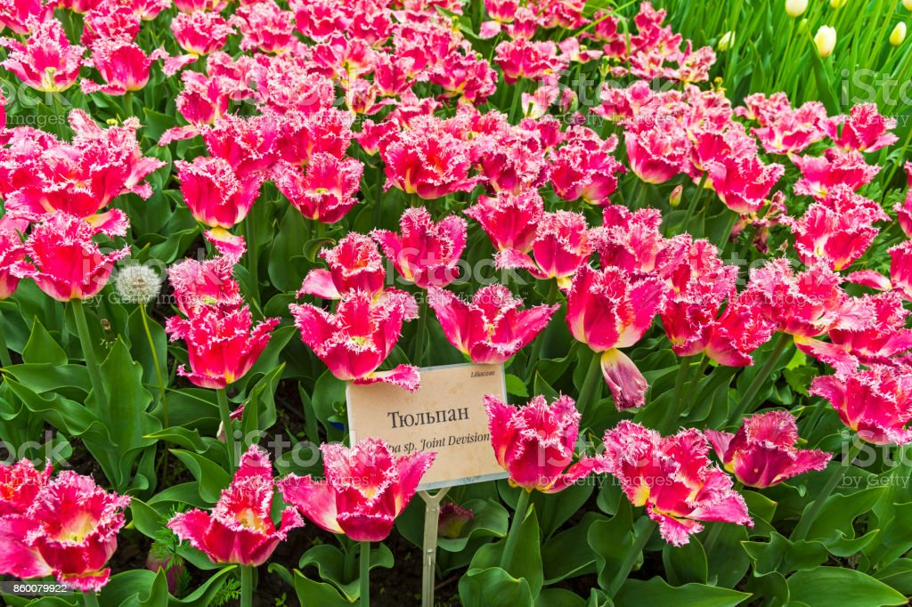 Tulips of the Joint Division species.