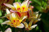 Tulips of the Kaufmanniana Floresta species. This species of tulips has several flowers on one plant.