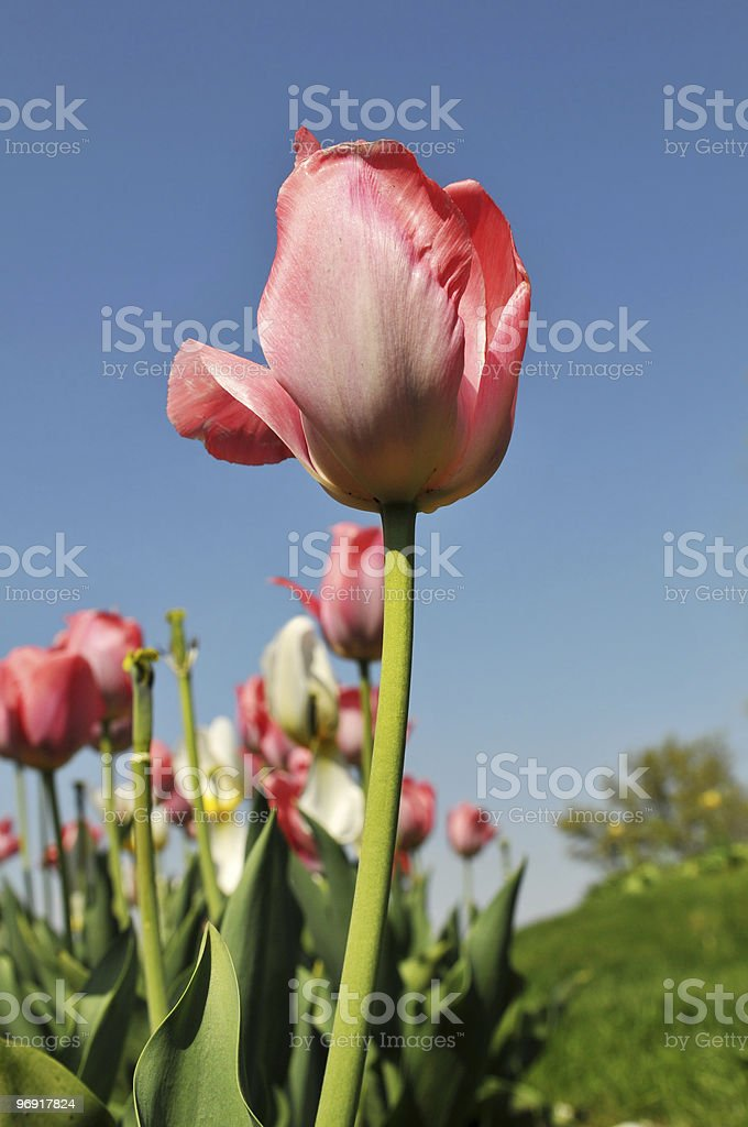 Tulips of various colors against a blue sky royalty-free stock photo