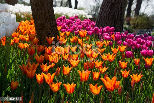 istock tulips of various colors in nature in spring 1001604844