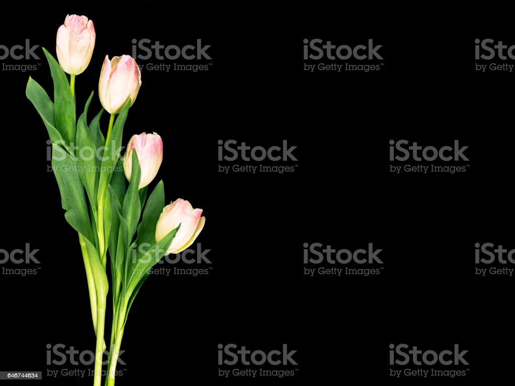 Tulips on a black background with space for copy. stock photo