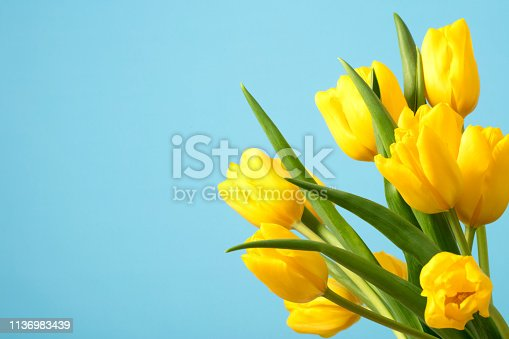 A DSLR photo of beautiful yellow tulips on a blue background. Space for copy.