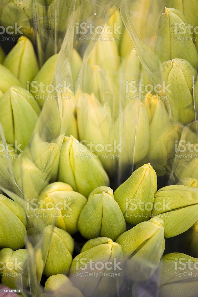 Tulipani su una farm foto stock royalty-free