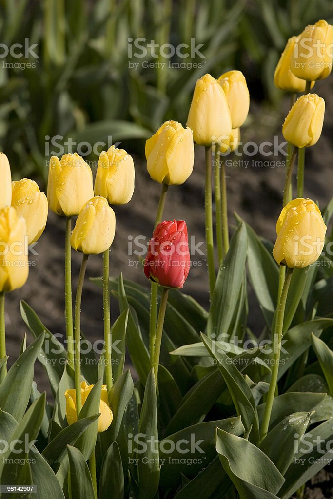 Tulips on a farm royalty-free stock photo