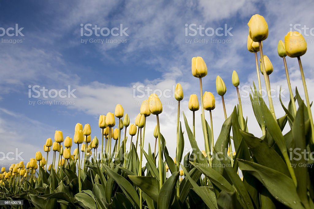 Tulips on a Farm royalty-free stock photo