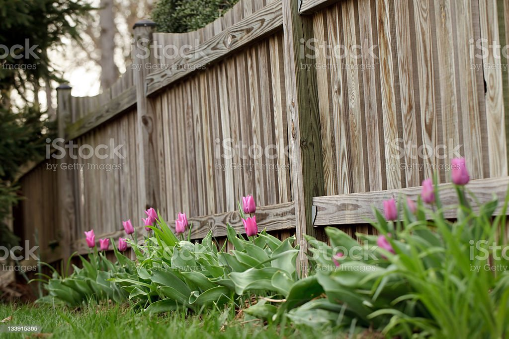 Tulips on a Fence royalty-free stock photo