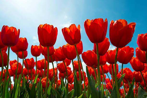 tulpen auf einem sonnigen feld im frühjahr - tulpe stock-fotos und bilder