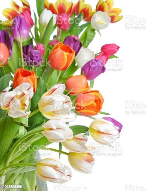 Tulips on a white background picture id1093658368?b=1&k=6&m=1093658368&s=612x612&h=scutx0qlofbmtjgdar2bwqgfug6k3a7rgnahrdqcxu0=