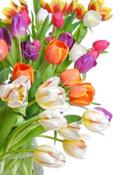 Tulips on a white background picture id1093658368?b=1&k=6&m=1093658368&s=612x612&w=0&h=n1rbxw r9kze5ow0jbwuqn bmeu9udwjw pqle5raoq=