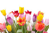 Tulips for Easter, Mother's Day, Woman's Day, Birthday or any occasion on a white background