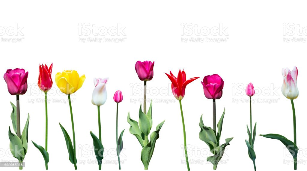 Tulips on a white background stock photo