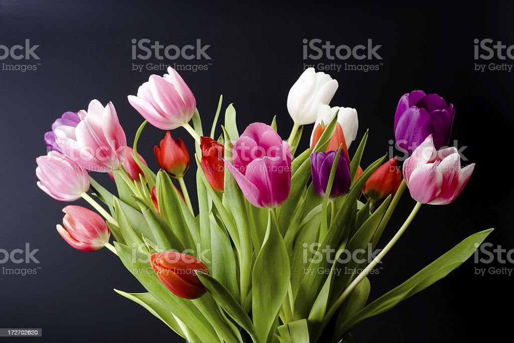 Tulips on black background royalty-free stock photo