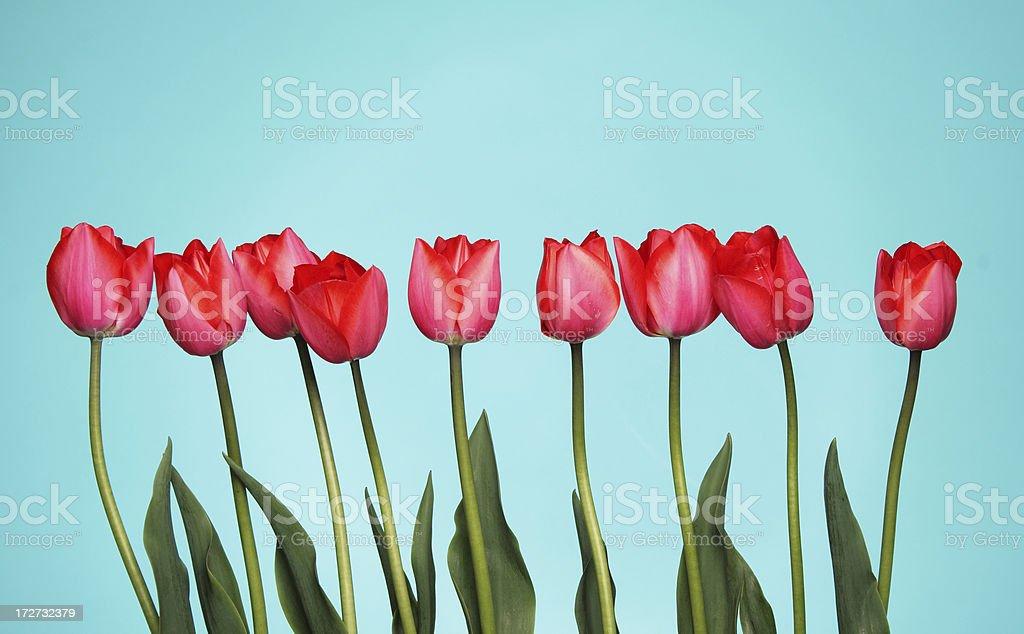 Tulips On Blue royalty-free stock photo