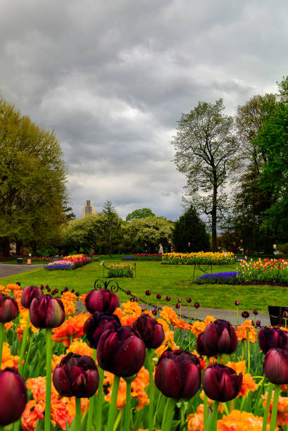 Tulips on display in Washington Park Albany NY on a rainy afternoon in spring stock photo
