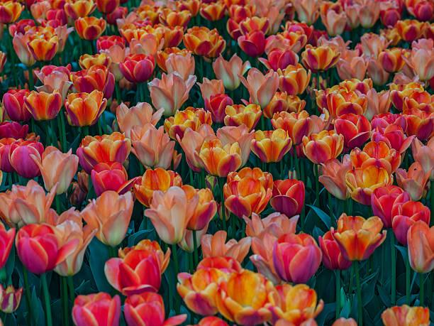 Tulipani su display (Pralormo, Piemonte, Italia - foto stock