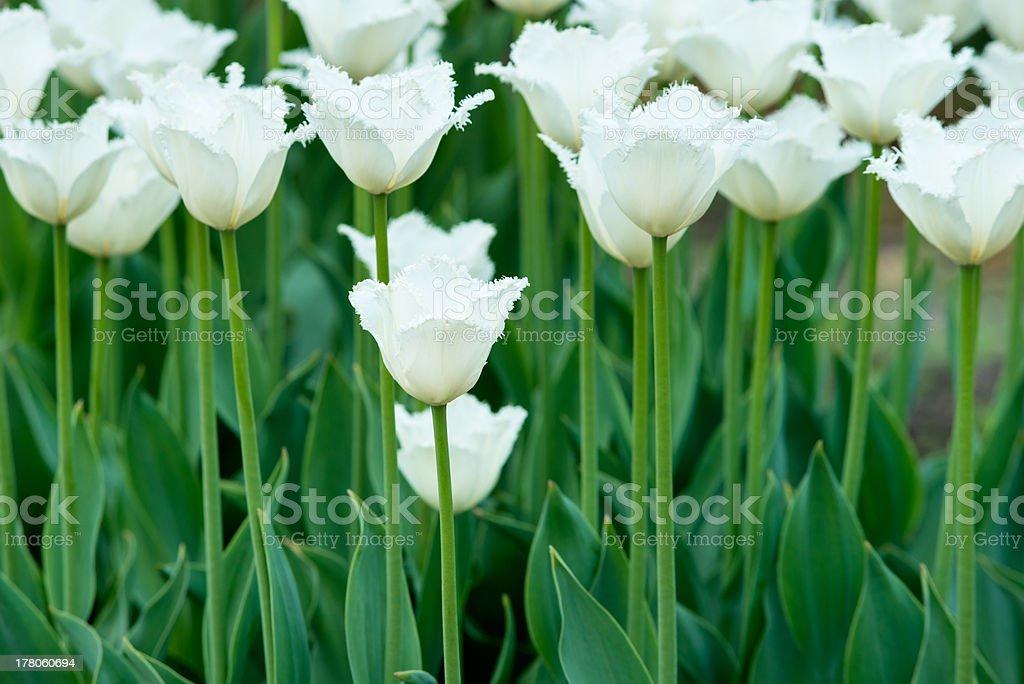 Tulips on flowerbed stock photo