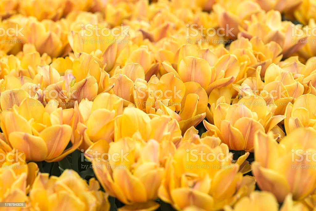 Tulips on flowerbed royalty-free stock photo