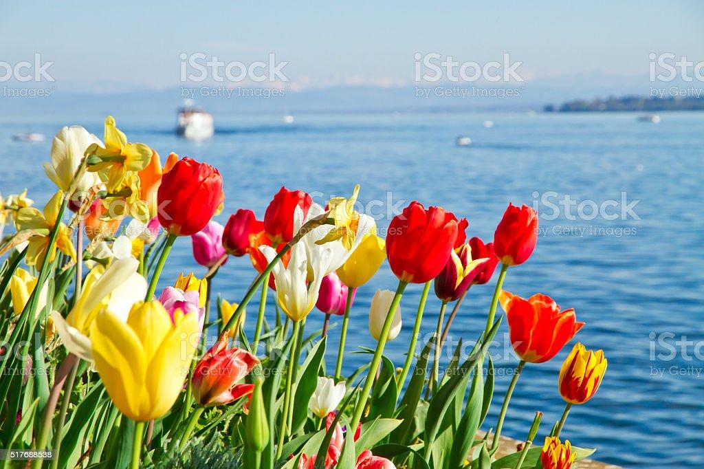 Tulpen auf See Bodensee, Deutschland – Foto