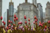 Tulips on Michigan Avenue on green tones