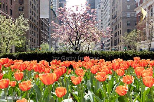 New York City, USA - April 23, 2019: Springtime bloom of tulips and cherry tree along Park Avenue.