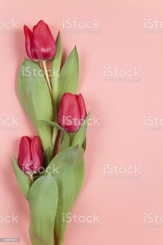 Tulips on Pink stock photo