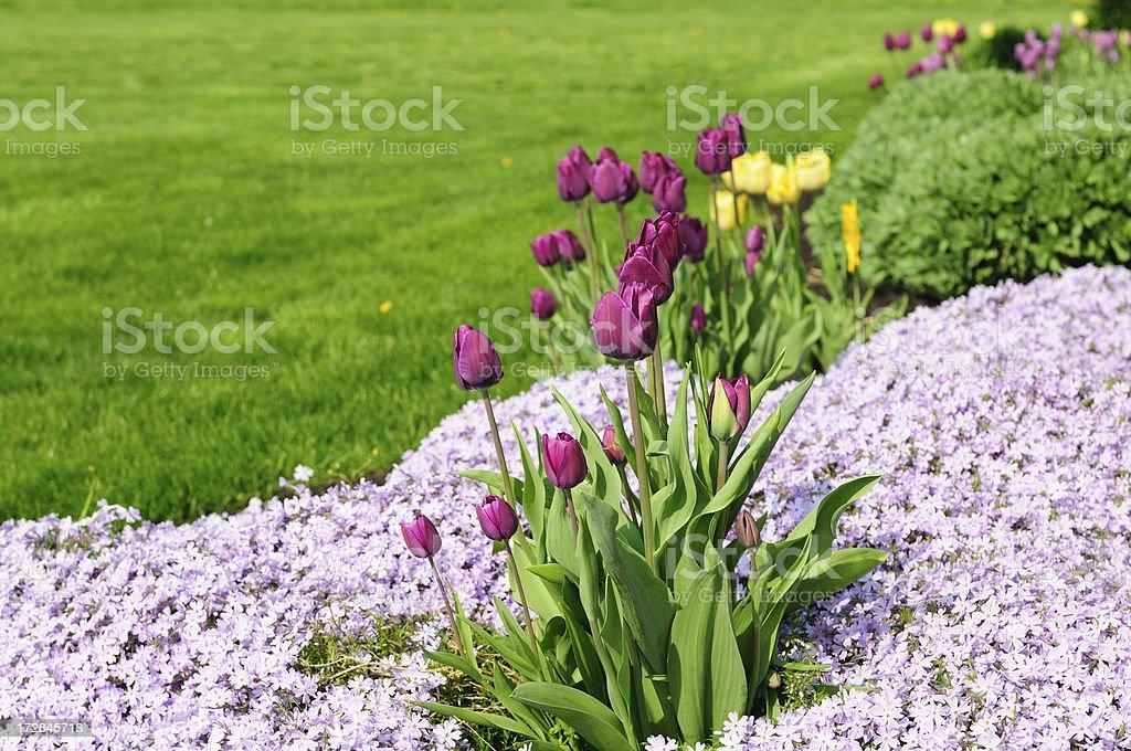 Tulips on the Border royalty-free stock photo
