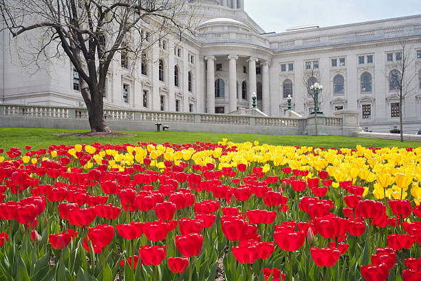 Tulips on the capitol lawn 2 stock photo