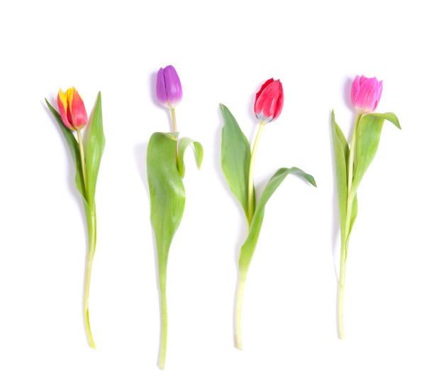 Tulpen auf weiß – Foto