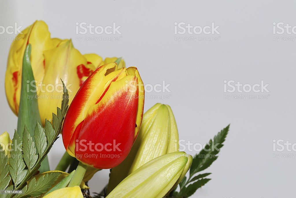 tulips on white royalty-free stock photo