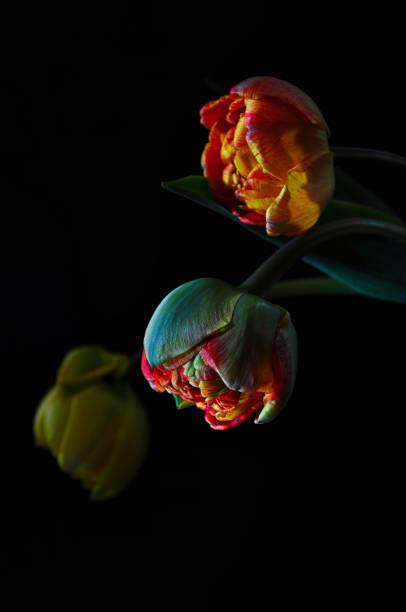 Tulips over black background stock photo