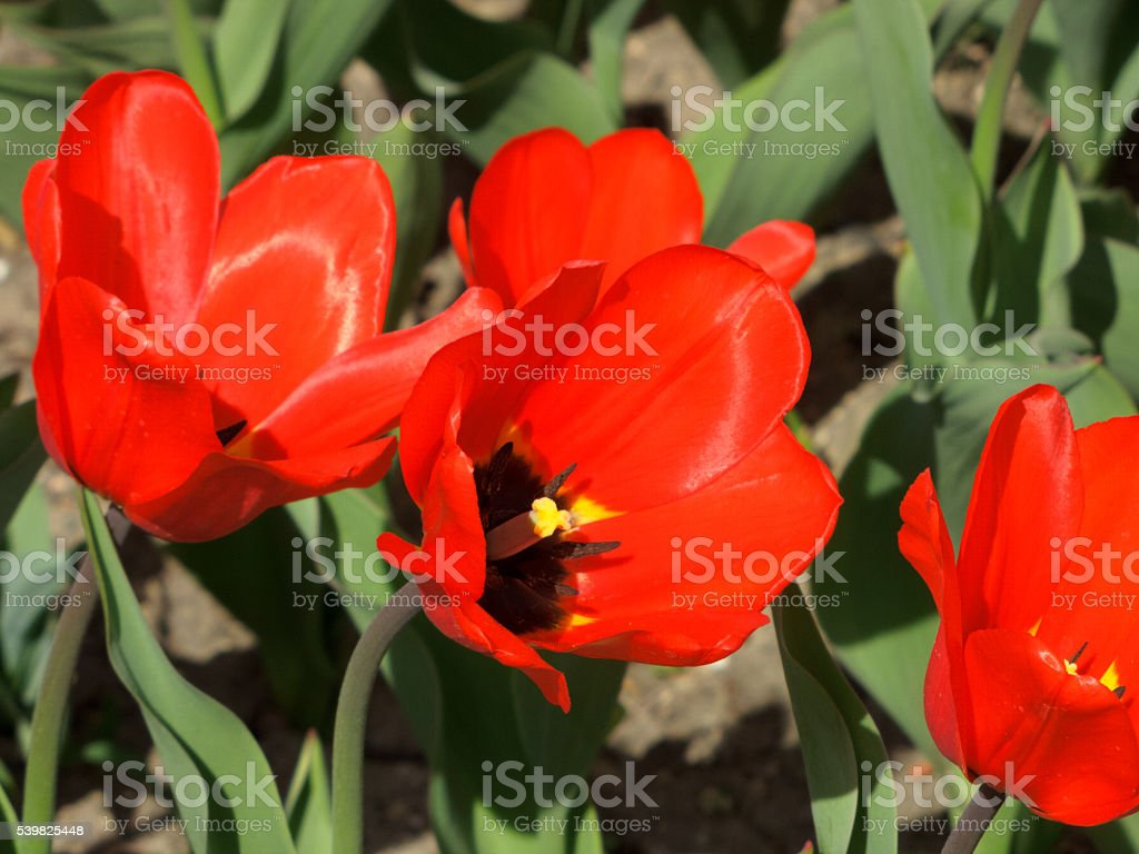 Тюльпаны пестик на сад стоковое фото