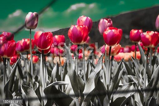 istock Tulips 1324911911