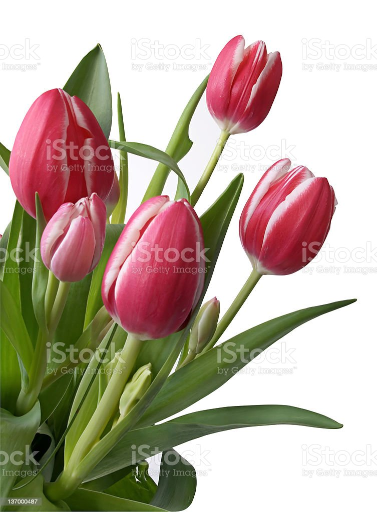Tulips (with clipping/work path) royalty-free stock photo