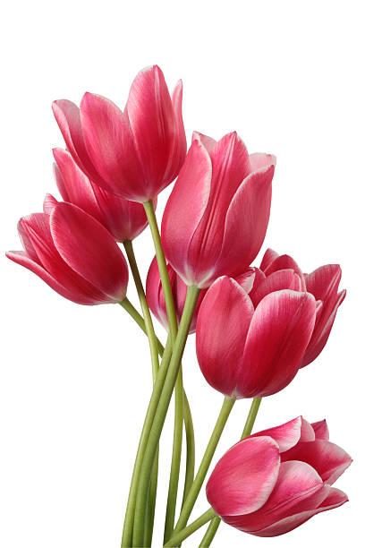 Tulips picture id149065913?b=1&k=6&m=149065913&s=612x612&w=0&h=uayiefezeeajbukg4byxzawplq8pojl5lb ga8j61 w=