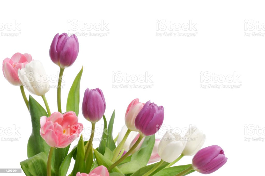 Tulips (XL) royalty-free stock photo