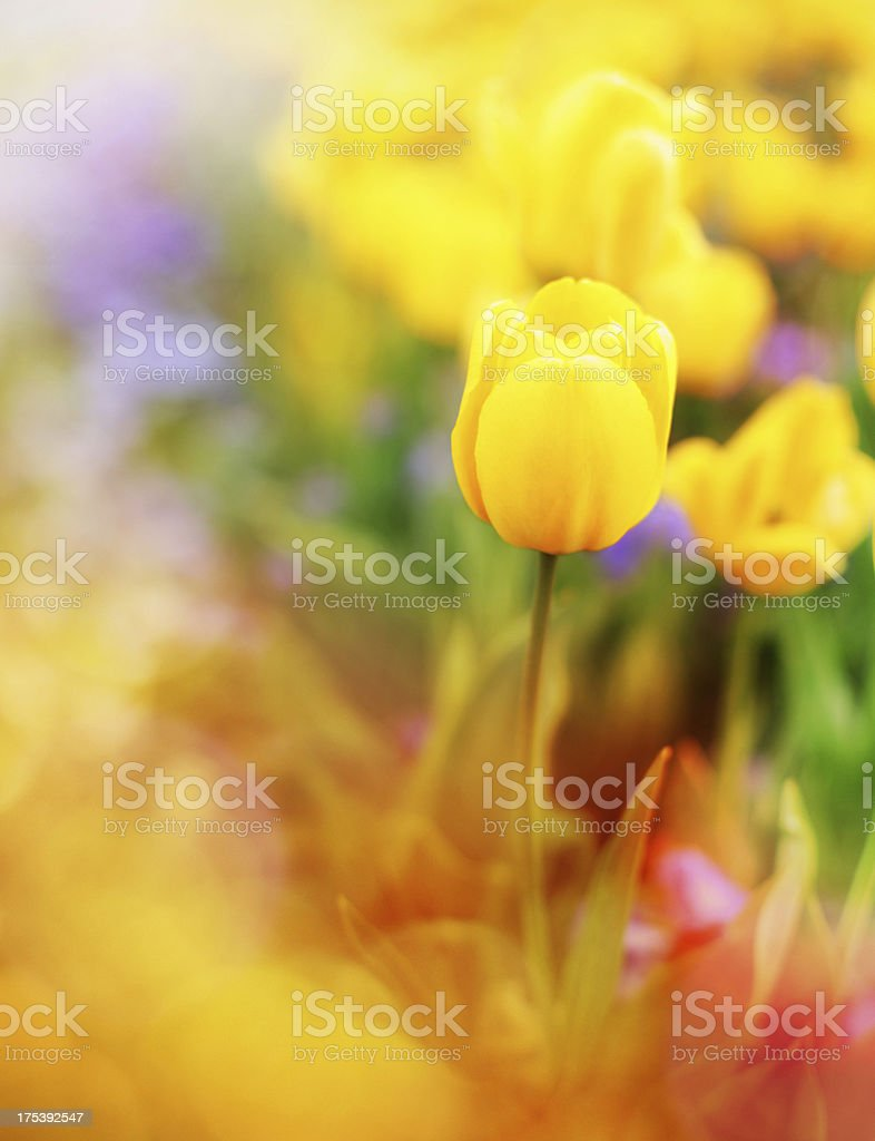 Tulips. royalty-free stock photo
