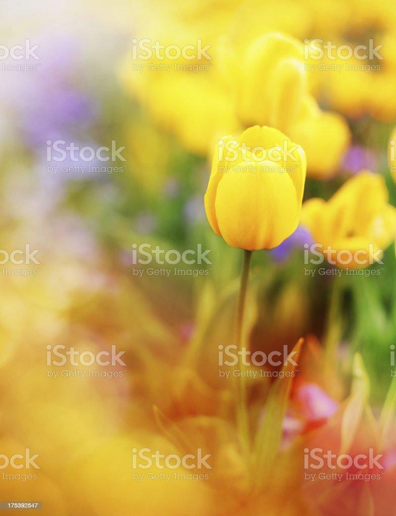 Tulips. stock photo