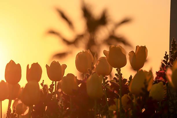 tulips - byakkaya stok fotoğraflar ve resimler