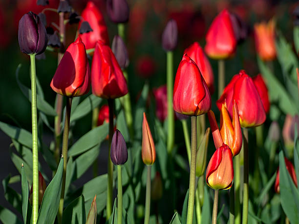 tulips - lund stock photos and pictures