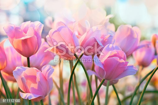 istock Tulips 511112100