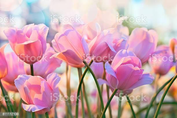 Tulips picture id511112100?b=1&k=6&m=511112100&s=612x612&h=0jr o9mi3d8u2f1hrxxm yexpbgwh kcn6lskwibvqg=