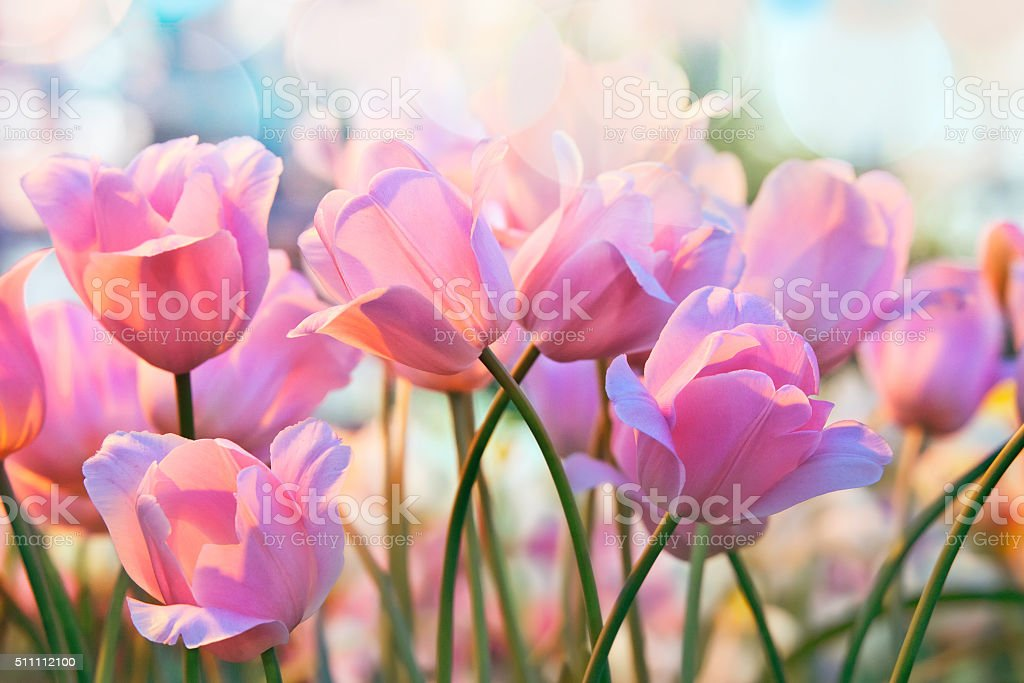 Tulipes - Photo