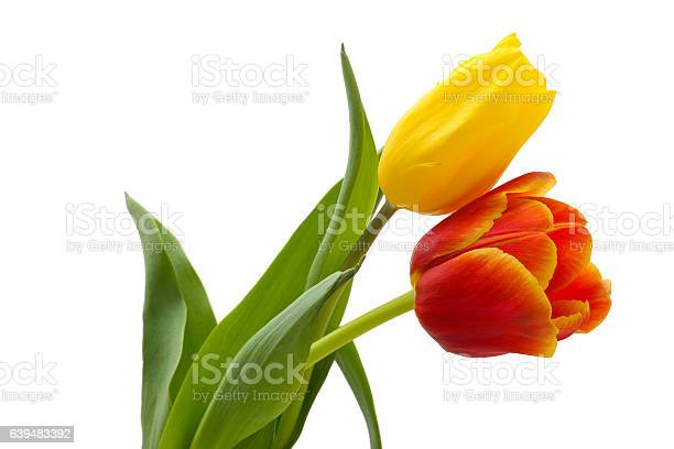 Tulips picture id639483392?b=1&k=6&m=639483392&s=612x612&h=c tuwj1mxeiwi ecmsuifbzi9padxfzk ezfjjzzuvs=