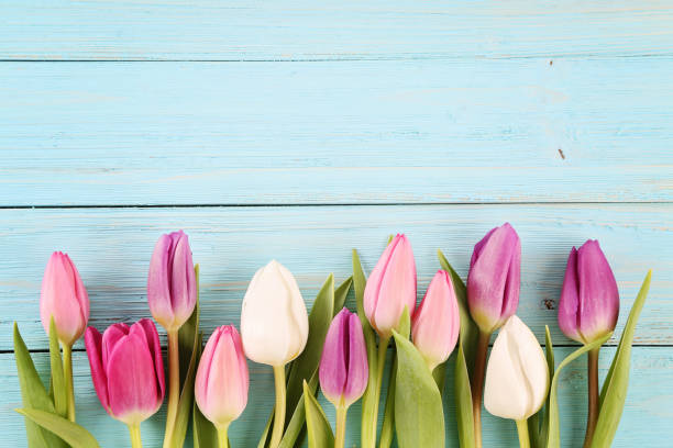 tulipany  - tulipany zdjęcia i obrazy z banku zdjęć