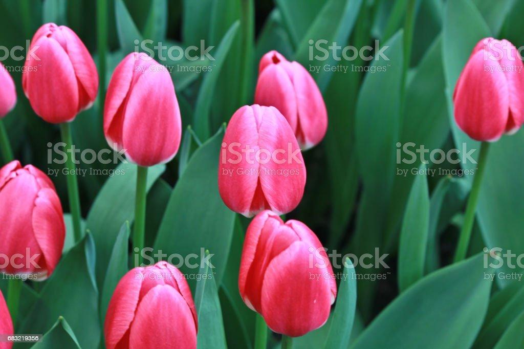 Tulips ロイヤリティフリーストックフォト