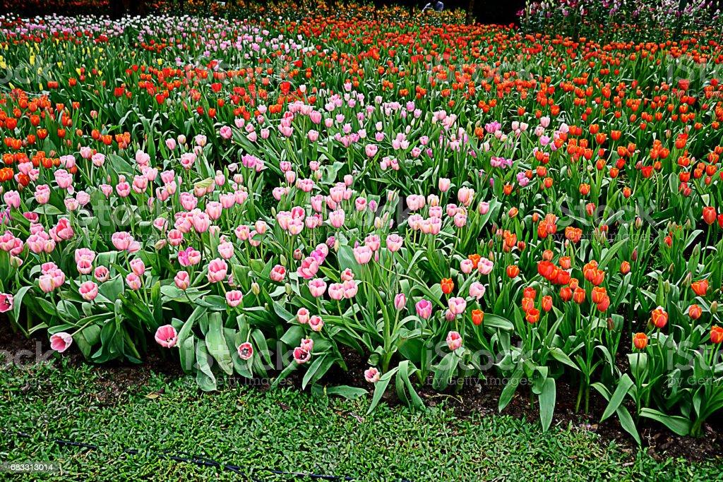 Tulips royaltyfri bildbanksbilder